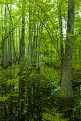 Cypress Swamp, Natchez Trace, MS