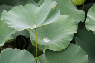 Silver water reflection on Lotus Leaf