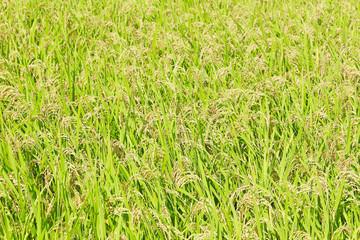 田んぼの稲 全面