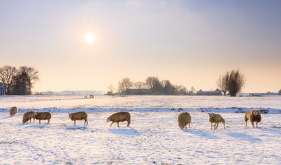 Sheep (Ovis aries) in snow white winter landscape at sunset in the Netherlands