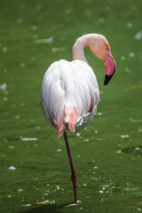 Flamingo Chilean - Phoenicopterus chilensis, standing in a green pond