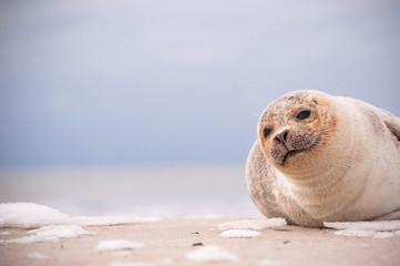 Seal on North Sea beach