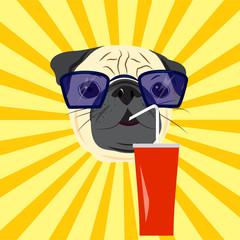 Head of pug drinking soda on yellow starburst background. Pug in sunglasses. Vector illustration