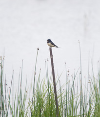 A beautiful grassy lake shore landscape with a barn swallows.