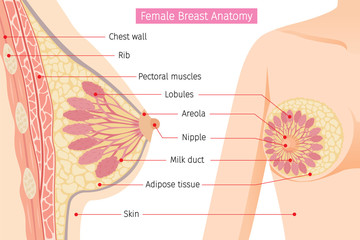 Cross Section Of Female Breast Anatomy, Mammary, Boob, Body, Organs, Physical, Sickness, Health