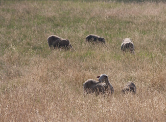 Sheep eating grass in the sun