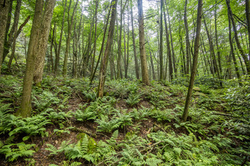 forest trees and ferns
