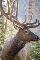 Profile Elk with antlers