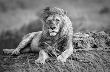 Mighty and beautiful lion resting in the African savannah, black and white