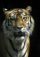 Portrait of a tiger on an isolated black background