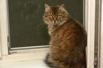 Siberian cat sits on the windowsill