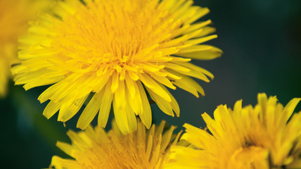 Close up of Dandelion  flowers growing in field