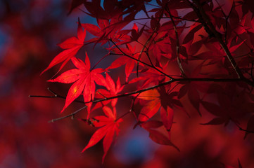 Red leaves on branch of maple in autumn season.