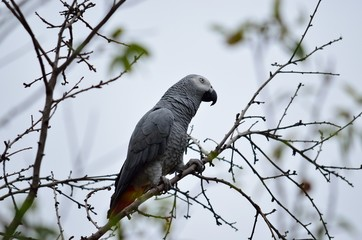 African gray parrot of red tail  perched on tree