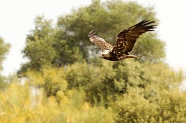 Spanish imperial eagle. Aquila adalberti
