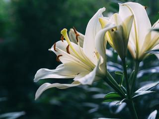 the Bush white lilies