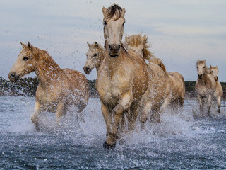 Camargue Horses Running In Lake