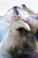 Close-Up Of Polar Bear Swimming In Water