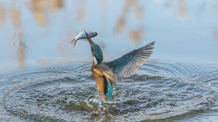 Kingfisher with fish flying over lake
