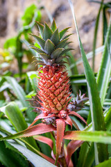 Close up of pineapple , ananas, plant. Shallow dept of field.