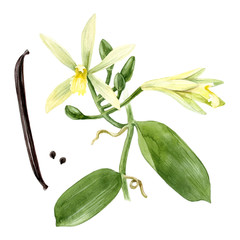 Watercolor vanilla plant