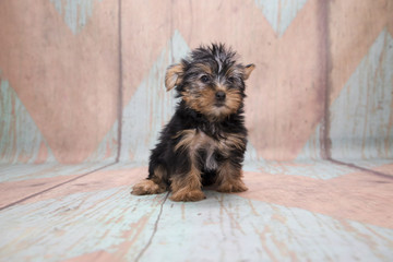 Yorkshire Terrier on pattern background