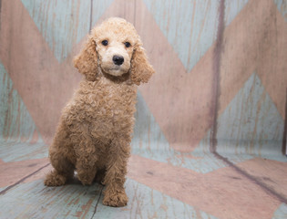 Poodle on pattern background