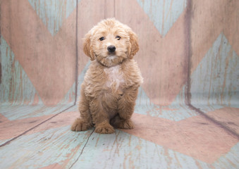 Miniature Goldendoodle on pattern background