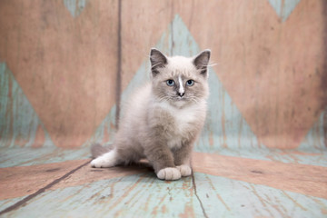 Ragdoll Kitten on a pattern background