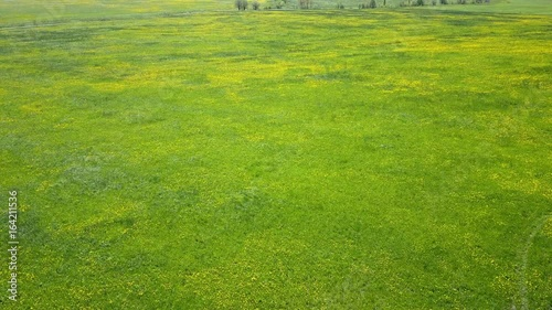 aero look in field of blossoming yellow dandelions in sunny day