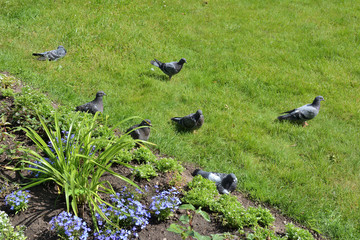 A flock of pigeons on the lawn next to flower bed