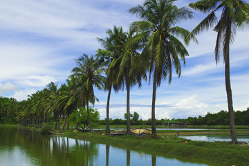 Fluffy coco palm tree between two ponds. Rice paddles and palms.