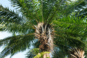 Palm Elaeis guineensis - Arecaceae