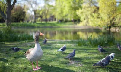 goose in regent's park, London