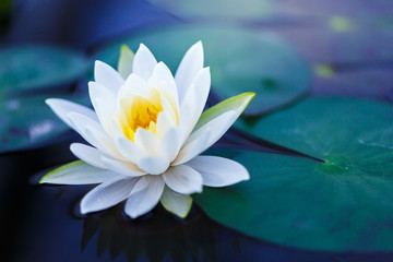 Wall Murals Lotus flower White lotus with yellow pollen on surface of pond