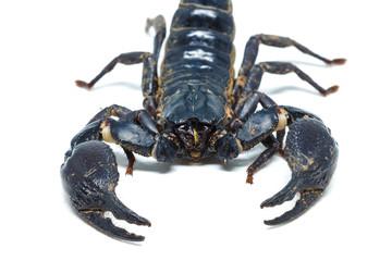 Scorpion isolated on white background