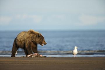 Grizzly Bear (Ursus arctos horribilis) searching for food, Lake Clark NP, Cook Inlet, Alaska