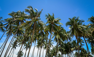 Grove of coconut trees in southern Vietnam