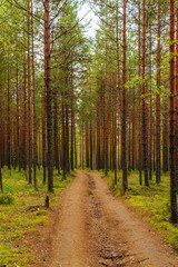 dirt road in a pine forest
