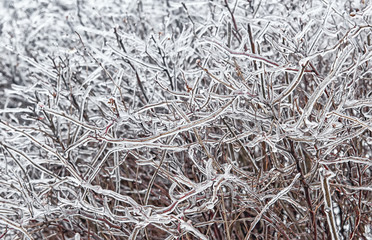 Freezing rain is a natural phenomenon on the shrub in autumn day.