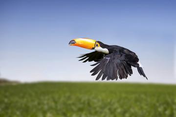Tukan, tropikalny ptak