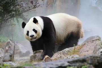 Fotobehang Panda Panda Beauval