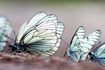 Butterflies. Black-veined White (Aporia crataegi)