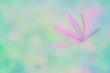 pink grass flower  and blur bokeh sweet ,romantic ,spring background