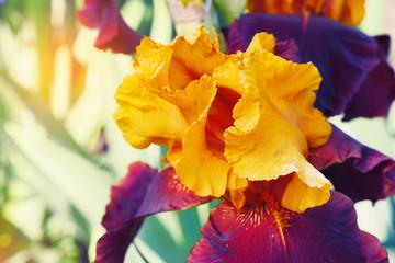 Gentle summer iris.Beautiful flowers of iris, close-up. A beautiful decorative flower. Favorite flower of breeders, iris. Green scenery in the garden and fresh flowers.