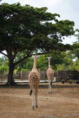 Philippines Calauit Island Whild park, giraffe