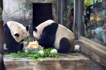 Giant pandas Chengjiu and Shuanghao enjoy a birthday cake made of ice and fruits in a zoo in Hangzhou