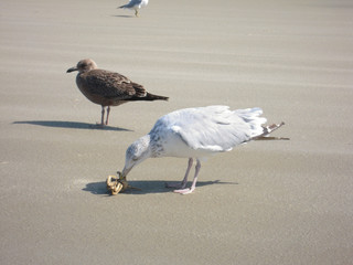 Seagulls with prey on the beach