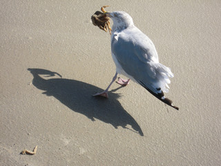 A seagull with a crab in her beak
