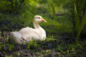Little gosling is resting